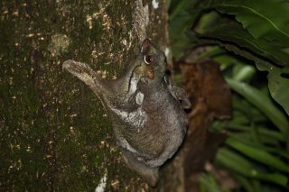 C16V2367_-_Sunda_Flying_Lemur.jpg