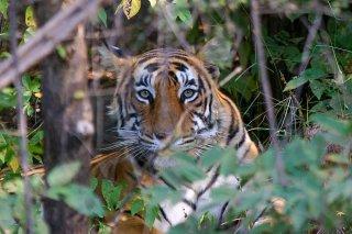 IMG_5854_-_Tiger.jpg
