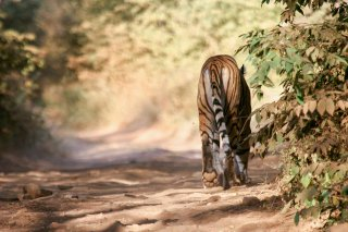 IMG_5903_-_Tiger.jpg