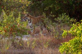 IMG_6504_-_Tiger.jpg
