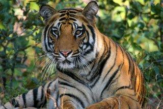IMG_6522_-_Tiger.jpg