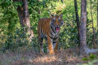 IMG_6529_-_Tiger.jpg