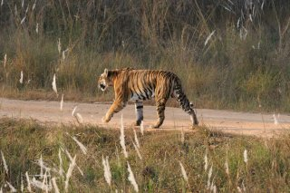 IMG_6815_-_tiger.jpg