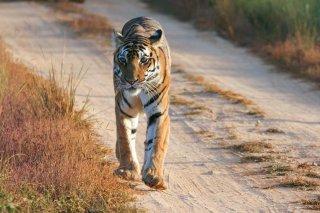 IMG_6946_-_Tiger.jpg