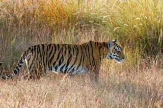 IMG_6954_-_Tiger.jpg