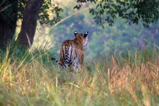 IMG_6961_-_Tiger.jpg
