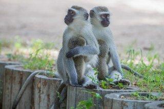 C16V4713_-_Vervet_Monkey.jpg