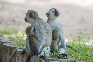 C16V4716_-_Vervet_Monkey.jpg