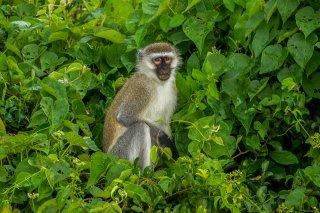 IMG_2867_-_Vervet_Monkey.jpg