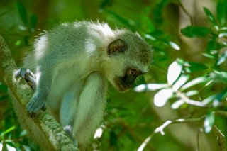 IMG_4887_-_Vervet_Monkey.jpg