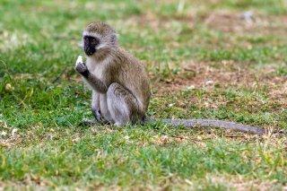 IMG_9386_-_Vervet_Monkey.jpg
