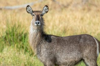 2M3A4608_-_Common_Waterbuck.jpg