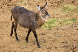 3T9P4260_-_Common_Waterbuck.jpg