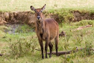 3T9P6095_-_Common_Waterbuck.jpg