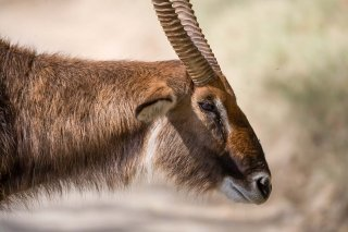 3T9P6955_-_Common_Waterbuck.jpg
