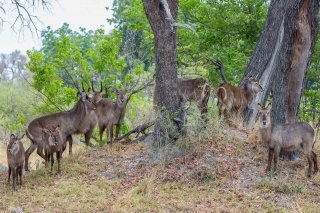 C16V3692_-_Common_Waterbuck.jpg