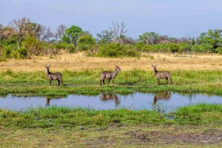 C16V4061_-_Common_Waterbuck.jpg
