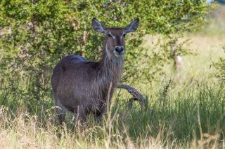 C16V6280_-_Common_Waterbuck.jpg