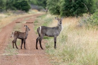 C16V6944_-_Common_Waterbuck.jpg