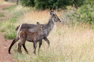 C16V6947_-_Common_Waterbuck.jpg