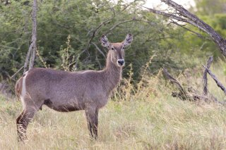 C16V7347_-_Common_Waterbuck.jpg