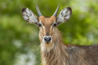 C16V8202_-_Common_Waterbuck_j.jpg