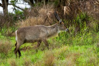 IMG_5714_-_Common_Waterbuck.jpg