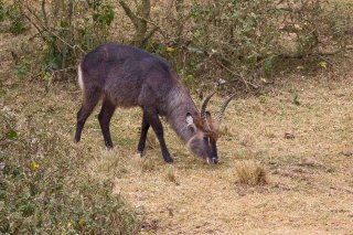 IMG_7202_-_Common_Waterbuck.jpg
