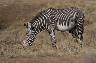 3T9P4667_-_Cape_Mountain_Zebra.jpg