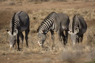 3T9P4672_-_Cape_Mountain_Zebra.jpg