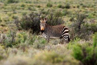 IMG_8057_-_Cape_Mountain_Zebra.jpg