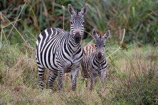 3T9P3441_-_Plains_Chapmans_Zebra.jpg