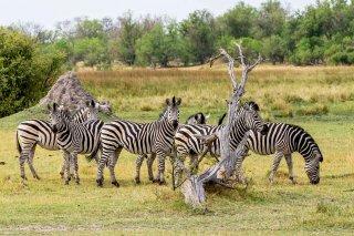 C16V3629_-_Plains_Zebra.jpg