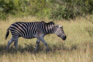 C16V3994_-_Plains_Burchells_Zebra.jpg