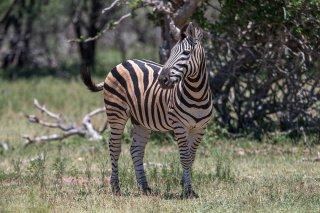 C16V4230_-_Plains_Burchells_Zebra.jpg