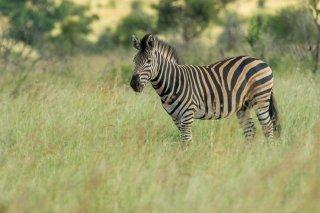 C16V5490_-_Plains_Zebra.jpg