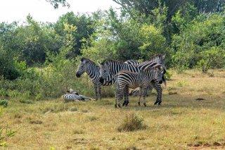 IMG_0458_-_Plains_Zebra.jpg