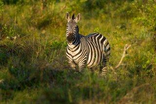 IMG_2991_-_Plains_Zebra.jpg
