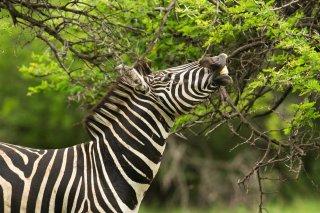 IMG_4316_-_Plains_Zebra.jpg