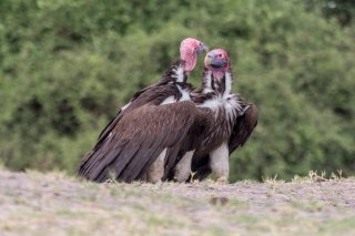 Lappet-faced-Vulture.jpg