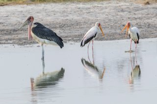 Marabou---Yellow-billed-Stork.jpg