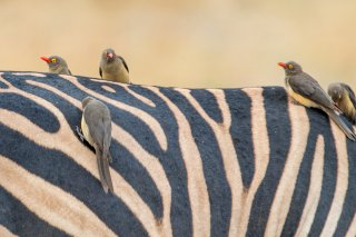 Red-billed-Oxpecker.jpg