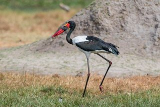 Saddle-billed-Stork.jpg