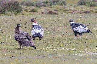 Andean-Condor.jpg