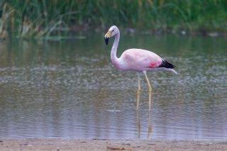 Andean-Flamingo.jpg