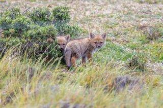 Chilean-Grey-Fox.jpg