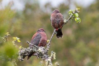 Chilean-Pigeon.jpg