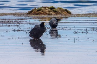 Giant-Coot-Andean-Coot.jpg