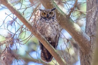 Magallanic-Horned-Owl.jpg