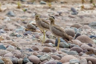 Peruvian-Thick-knee.jpg